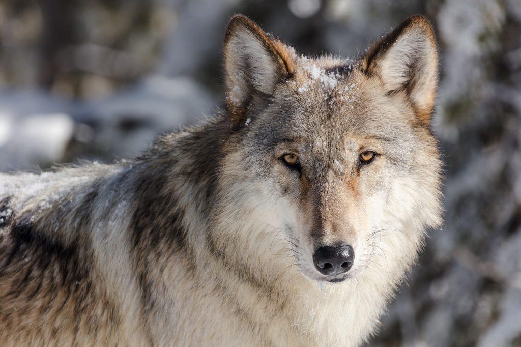 Wolf Februar